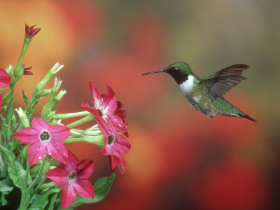 Ruby-Throated Hummingbird, Male, Illinois