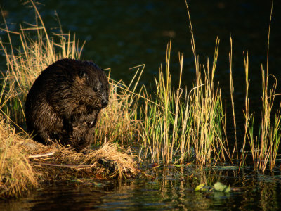 A Beaver Perches on the Waters Edge ...