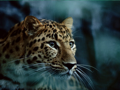 Buy An Amur Leopard at the Minnesota Zoological Gardens at AllPosters.com