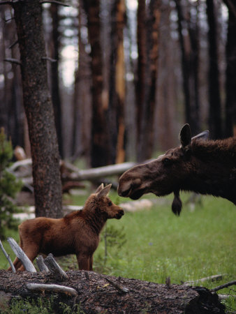 Moose with Young
