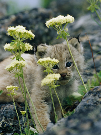 A Tiny Lynx Cub Peeks out Through a Clump of Wildflowers