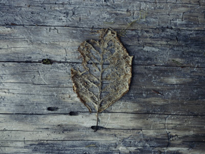 A Decomposing Leaf Sits on a Log in the Hoh River Valley