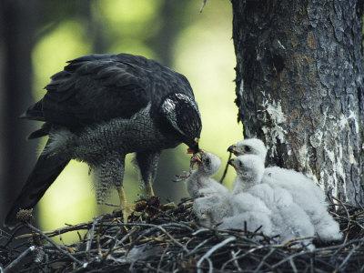 Habicht am Nest