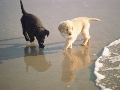 Two Retriever Pups Walk in the Surf at a Beach