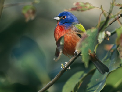 Painted Bunting (Passerina Ciris), Corkscrew Swamp Sanctuary, Florida