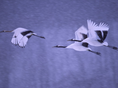 Three Japanese Red-Crowned Cranes (Grus Japonensis) in Snowy Flight