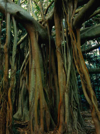 Aerial Roots of Banyon Tree, Lord Howe Island, New South Wales, Australia