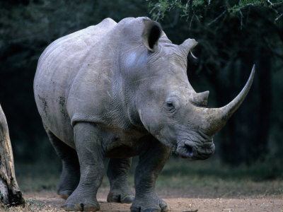 White Rhinoceros, Mkuzi Game ...