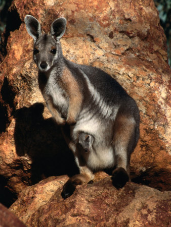 Yellow Footed Rock-Wallaby (Petrogale Xanthopus), Idalia National Park, Queensland, Australia