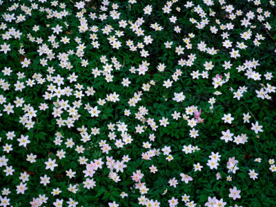 Wood Anemones (Anemone Nemorosa) on Forest Floor, Sodersen National Park, Sweden