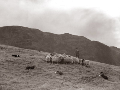 A Shepherd with His Border Collie Sheep Dogs Checks His Flock Somewhere on the Cumbrian Hills, 1935
