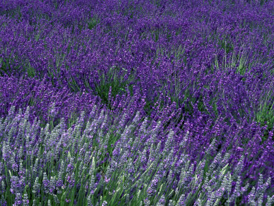 Lavender Fields in Sequim, Olympic Peninsula, Washington, USA