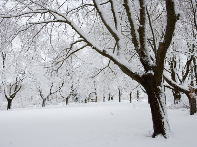 Snow-Covered Maple Trees in Odiorne Point State Park in Rye, New Hampshire, USA Posters