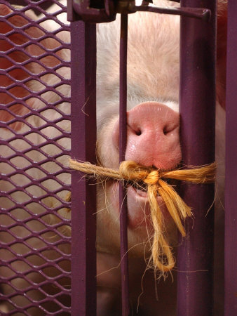 A Yorkshire Pig Tries to Chew the Twine That Locks Him