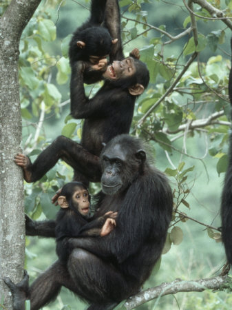 Jane Goodall Institute, Chimpanzees, Gombe National Park, Tanzania Posters