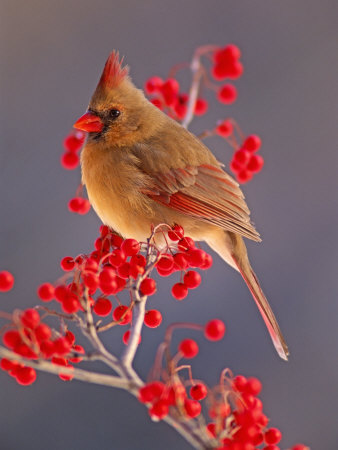Female Northern Cardinal Among ...