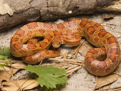 Corn Snake, Sarasota County, USA