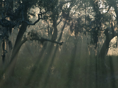 Morning Light Through Oaks in Fog, Savannah, Georgia, USA