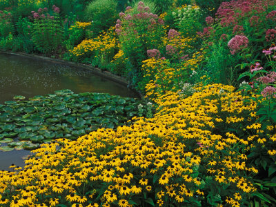 Black-Eyed Susans, Rudbeckia Hirta, and Joe Pye Weed, Holden Arboretum, Cleveland, Ohio, USA
