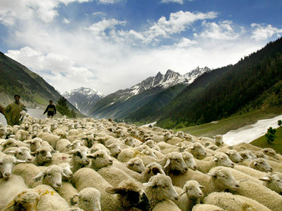 Buy Gujjar Nomadic Shepherds Herd Their Sheep on the Outskirts of Srinagar, India at AllPosters.com