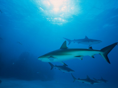 Reef Sharks, Walker