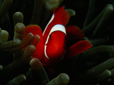 A Spinecheek Anemonefish Swims Through a Sea Anemone