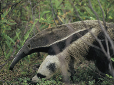 A Giant Anteater Photographic Print