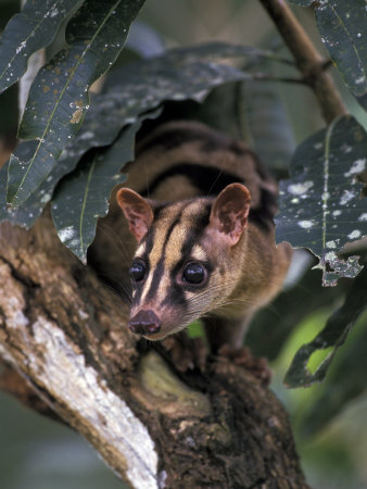 Banded Palm Civet, Malaysia