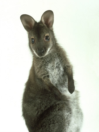 Buy Red Necked Wallaby, Young, England, UK at AllPosters.com