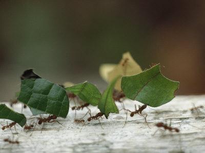 Leaf-Cutter Ants near Sao Gabriel, Amazon River Basin, Brazil