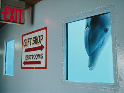 A Curious Dolphin Peeks Through a Window at the Local Aquarium