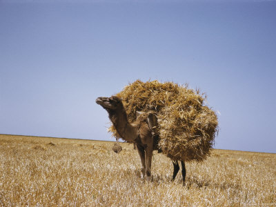Dromedary Camel Carrying a Load of Straw
