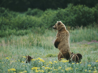 An Adult Alaskan Brown Bear Stands with Her Cubs