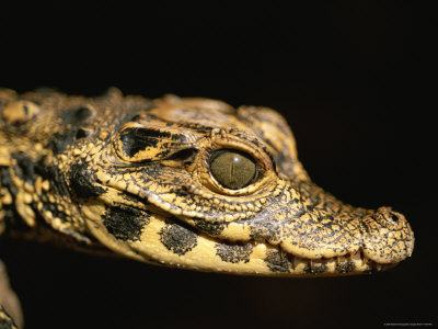 Close View of a A Baby West African Dwarf Crocodile