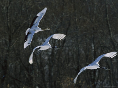 A Trio of Japanese or Red-Crowned Cranes Coming in for a Landing