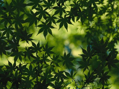 Silhouette of Japanese Maple Leaves