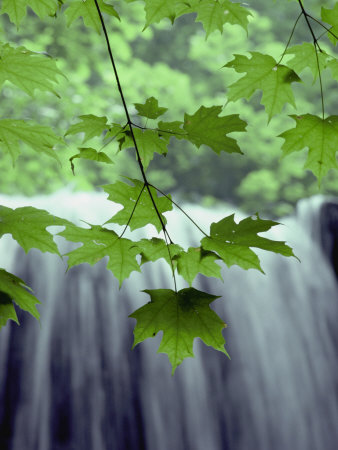 Maple Leaves against a Waterfall ...