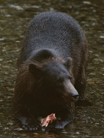 An Alaskan Brown Bear Snacks on a Fish