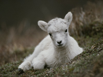 Portrait of a Juvenile Rocky Mountain Goat