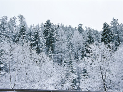 A Forest of Snow-Covered Trees