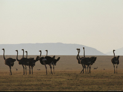 A Flock of Ostriches on the Plains of Serengeti National Park