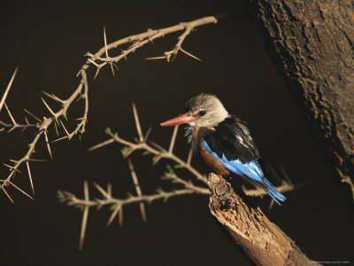 A Gray-Headed Kingfisher Perched on a Tree Branch