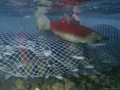 A Sockeye Salmon Escapes a Fishing Net in the Adams River