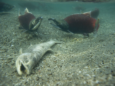 Tired, Tattered and Dying Salmon after the Spawning Migration