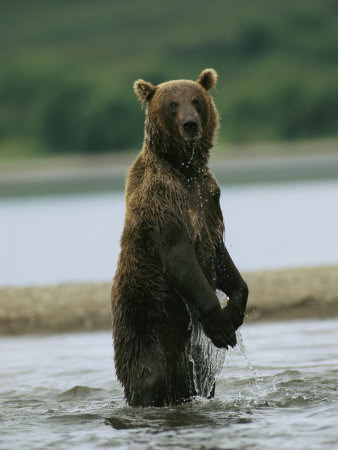 A Wet Brown Bear Stands in a River