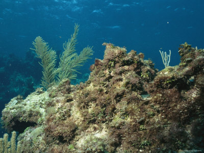 A Coral Reef is Overgrown with Algae