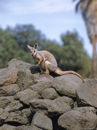 Buy Rock Wallaby at AllPosters.com