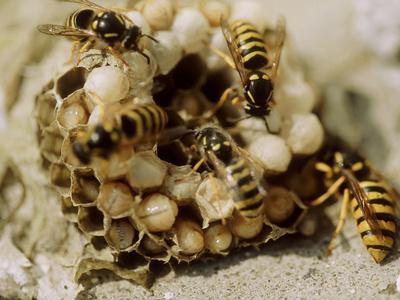 Die Gemeine Wespe am Nest