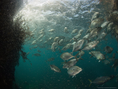 Trevally, Feeding on Krill, New Zealand