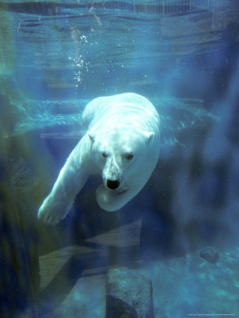 Polar Bear, Swimming Underwater ...